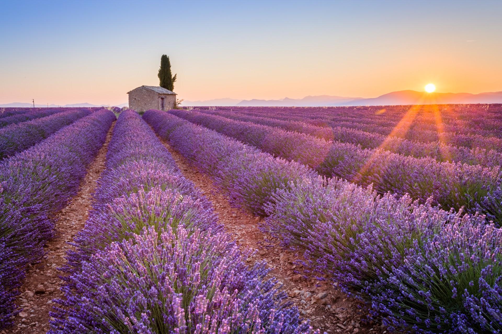 lavender fields provence tours